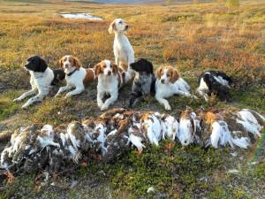 Sverige 2013 - hunder og ryper